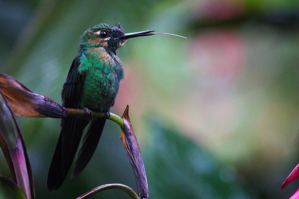 También hay más de 50 especies de colibríes