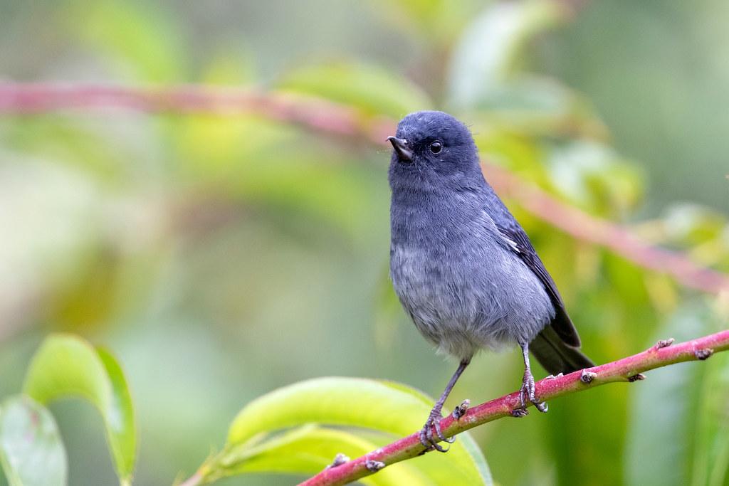 Las aves en San Gerardo de Dota