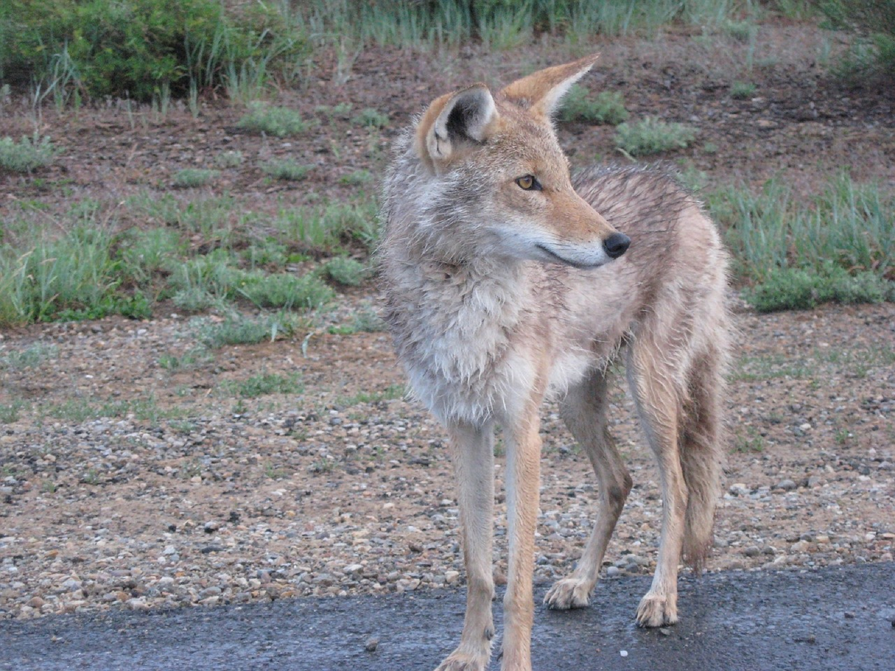 Aprende a alejar a los coyotes