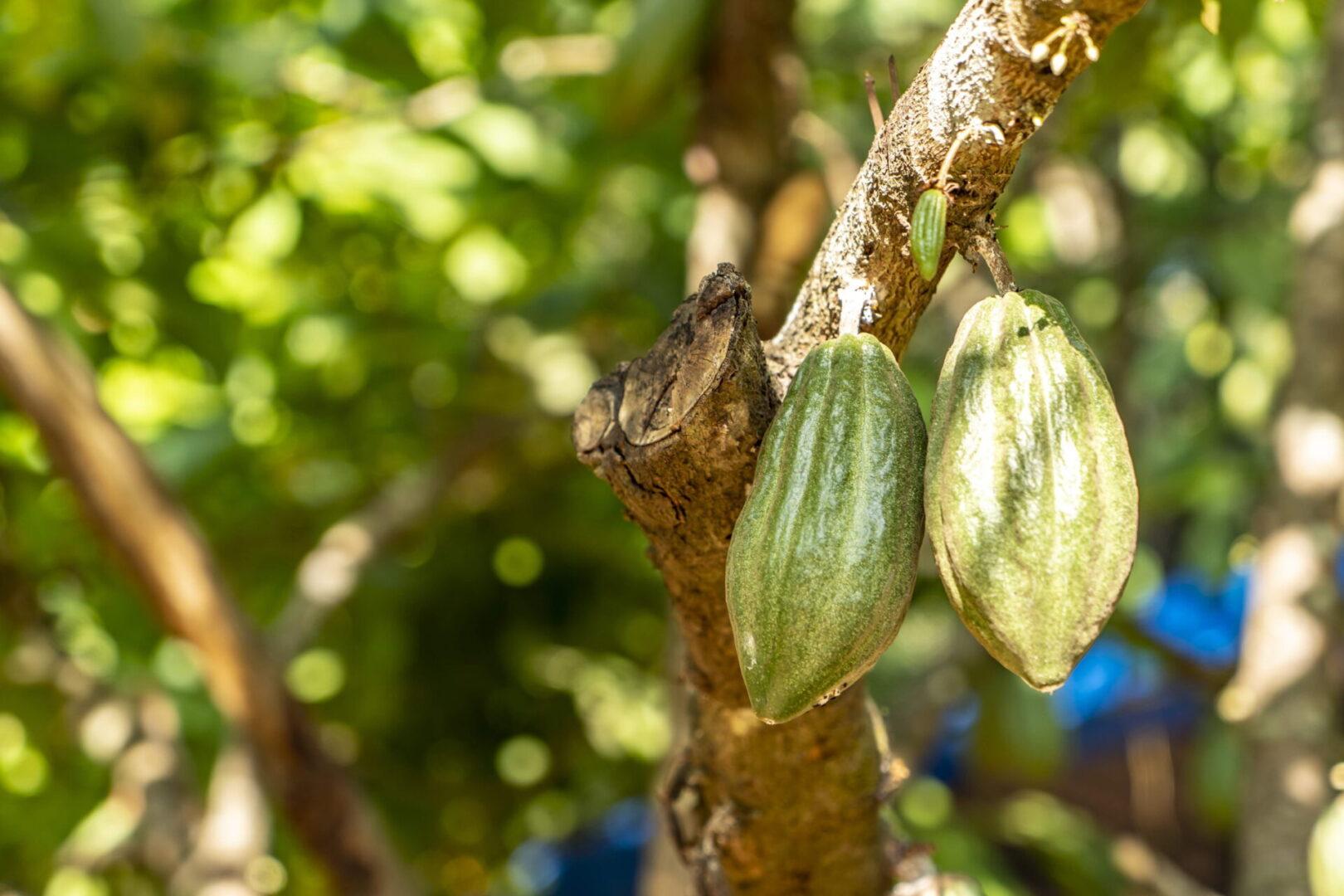 Chocolate de gran calidad en Costa Rica
